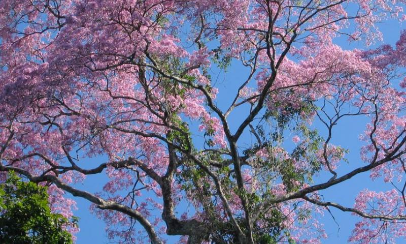 Brazilian Tree